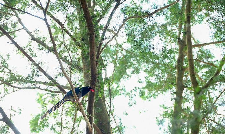 ヤマムスメ臺灣藍鵲